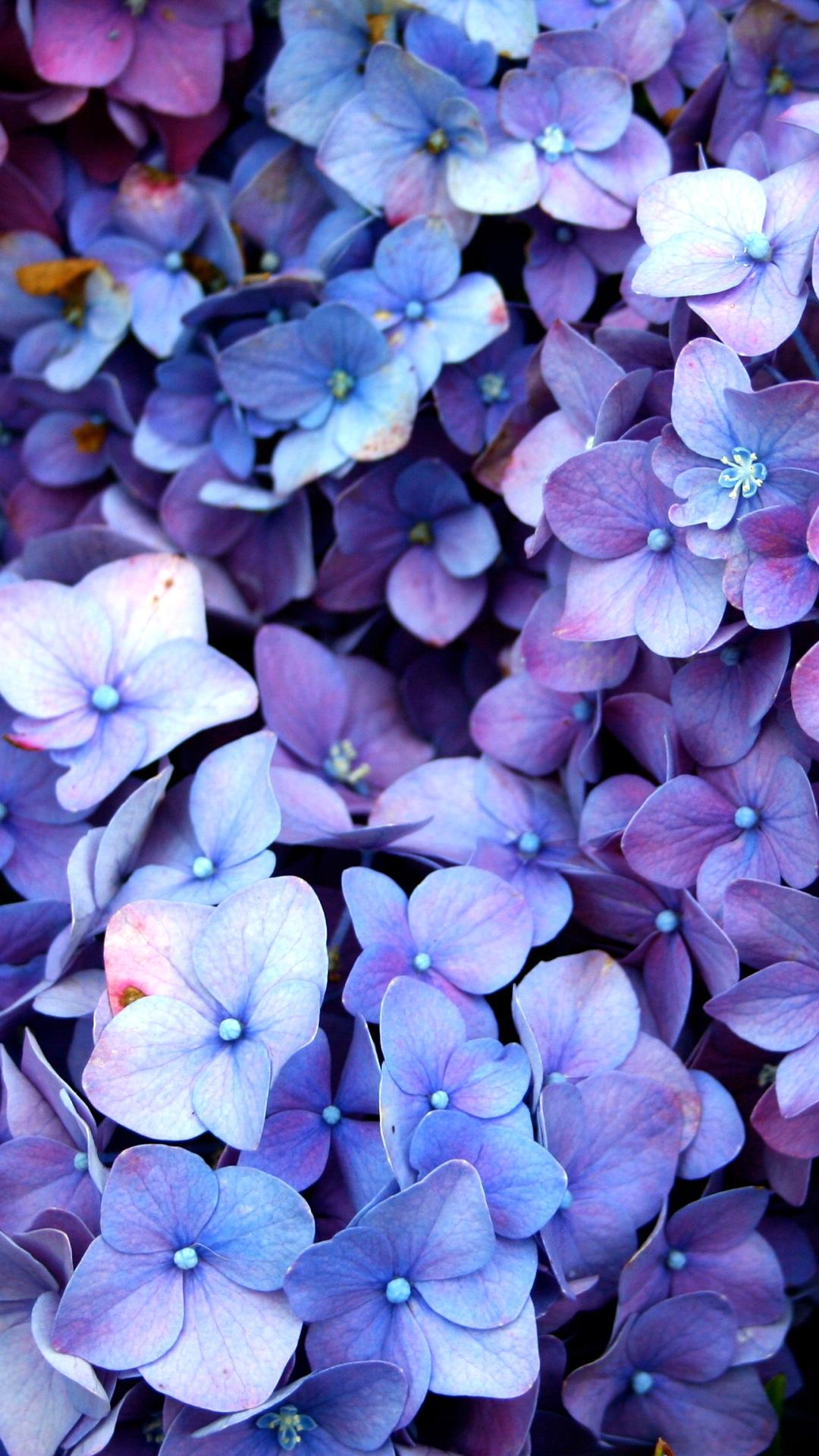 Le Violet A Rungis Les Fleurs Purple Flowers Wallpaper Hydrangea Wallpaper Beautiful Flowers