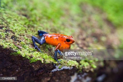 Stock Photo : Strawberry Poison-dart Frog (Dendrobates pumilio), calling, rainforest, Braulio Carrillo National Park, Costa Rica, Central America