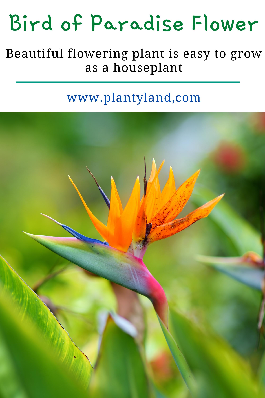 Bird Of Paradise Strelitzia In 2020 Birds Of Paradise Flower Birds Of Paradise Plant Plants