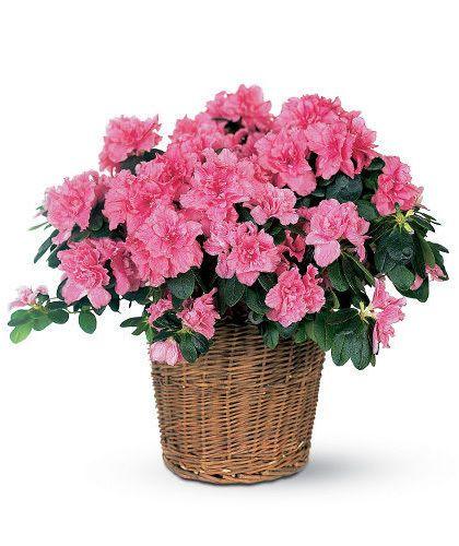 Azalea Plant Azalea Flower Pink Azaleas Sympathy Flowers