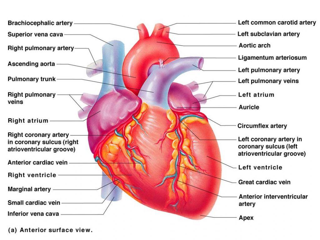 Heart Anatomy Vessels Diagram Of Vessels The Heart Blood Diagr On ...