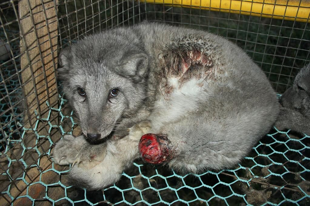 Finnish Parliament says no to fur-farming ban. : ( The first citizens' initiative to reach Parliament was rejected by a wide margin!! See link for article: http://yle.fi/uutiset/parliament_says_no_to_fur-farming_ban/6696170