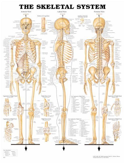 Skeletal System Anatomical Chart | medical assisting | Pinterest ...
