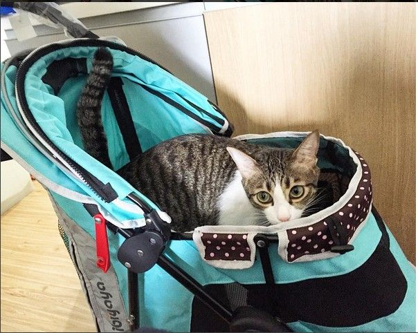 Repost: Mom had a big surprise for me today! 🎁💝 She said I'm too heavy to carry around. 😹 Happy #Caturday my furriends! 💕❣#comfort #cats #petstroller #petbuggy #ibiyaya #tiffanyblue