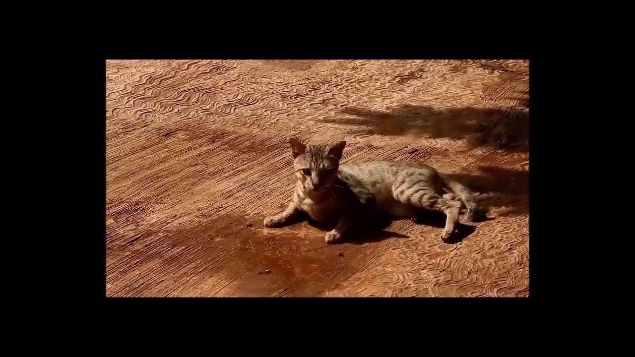 Aksi Kucing Berguling Guling Untuk Mencuri Perhatian Lucu Video