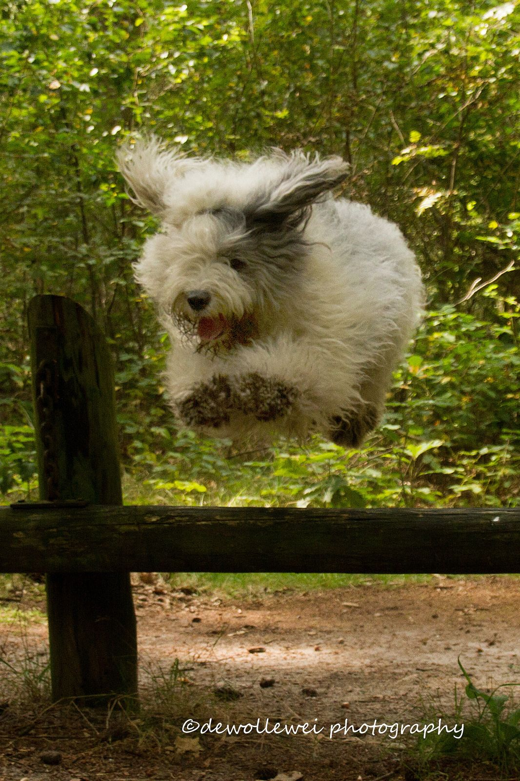 jump (With images) Old english sheepdog, Cute dogs