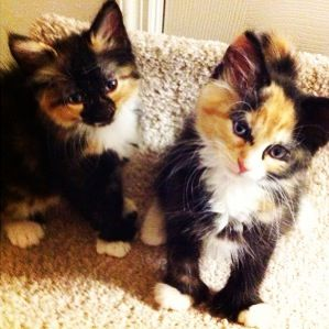 Meet Keira And Chyna Two 8 Week Old Calico Kittens Who Are Also