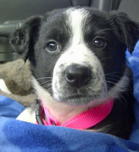 Chevy the Border Collie Mix | Rescue puppies, Mutt puppies ...