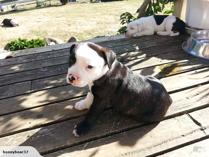 English Staffordshire Bull Terrier Puppies For Sale On Trade Me