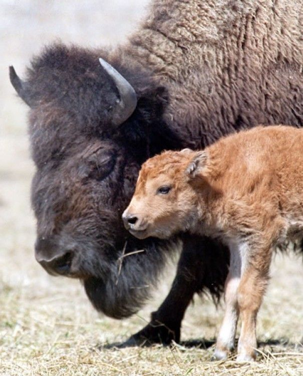 Get up close and personal with the bison and learn about