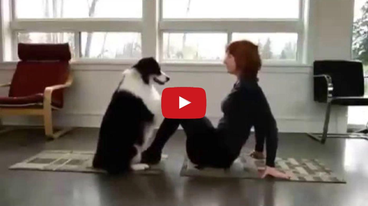 Border Collies Make Great Exercise Companions Dog Doing Yoga