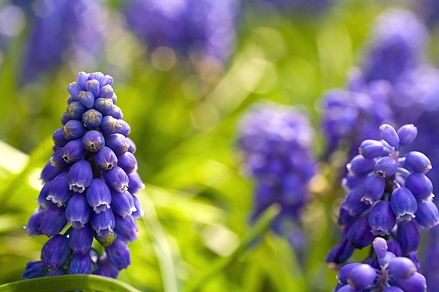 Grape hyacinth smell like little pineapples. They announce the beginning of Spring!