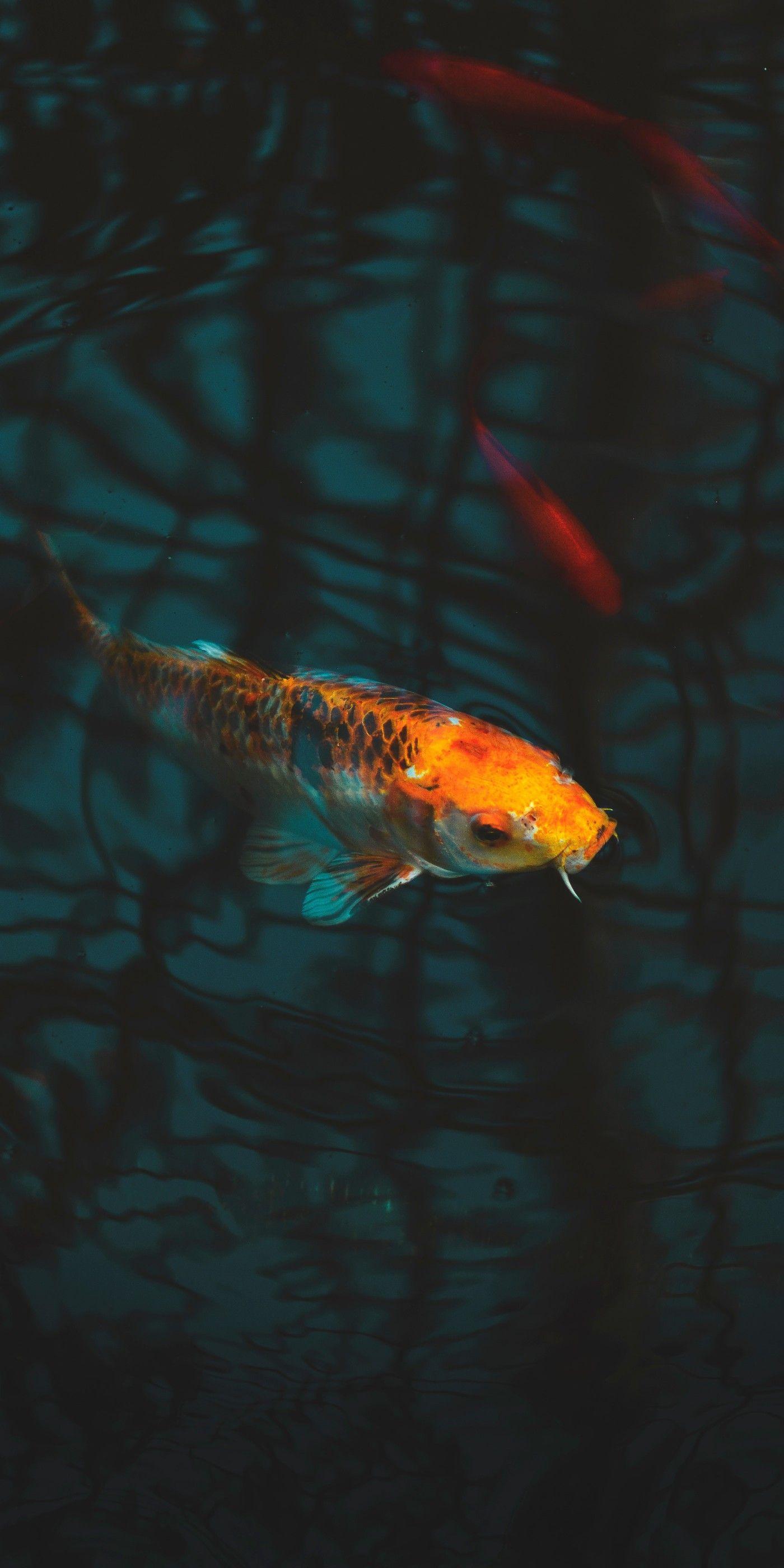 Pin By Iyan Sofyan On Animals Pictures Koi Fish Colors Fish Wallpaper Koi Fish