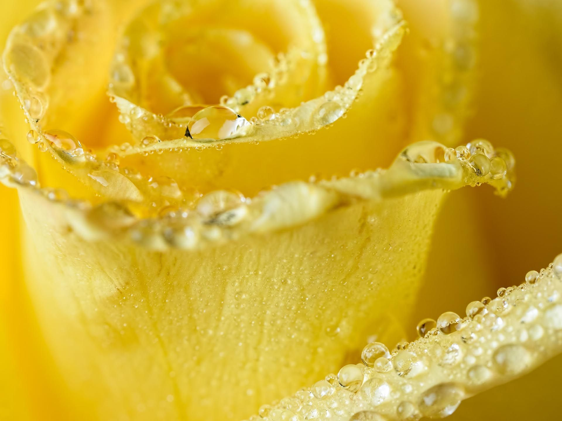 Rose With Water Drops Wallpapers Group
