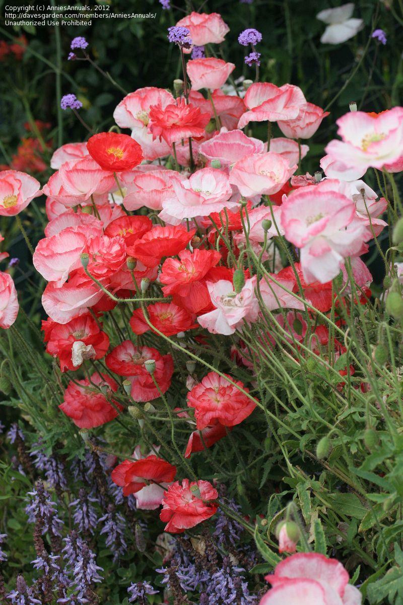 Full Size Picture Of Corn Poppy Field Poppy Flanders Field Poppy