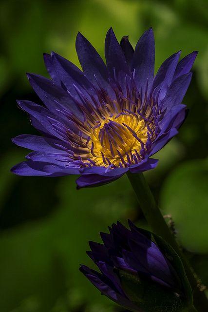 Waterlili - Blue by Sijanto