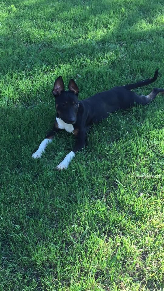 Monkey is an adoptable Bull Terrier searching for a forever family near Wichita Falls, TX. Use Petfinder to find adoptable pets in your area.