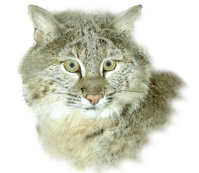 With The Pending Removal Of Bobcats From The Ohio Endangered Species List Hunters And Trappers There Are Already Foamin Bobcat Endangered Species Endangered