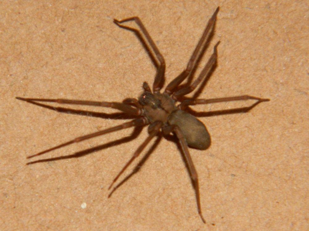 The brown recluse spider or violin spider, Loxosceles reclusa ...