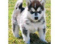 Knoxville Alaskan Klee Kai Puppies Alaskan Klee Kai Puppy