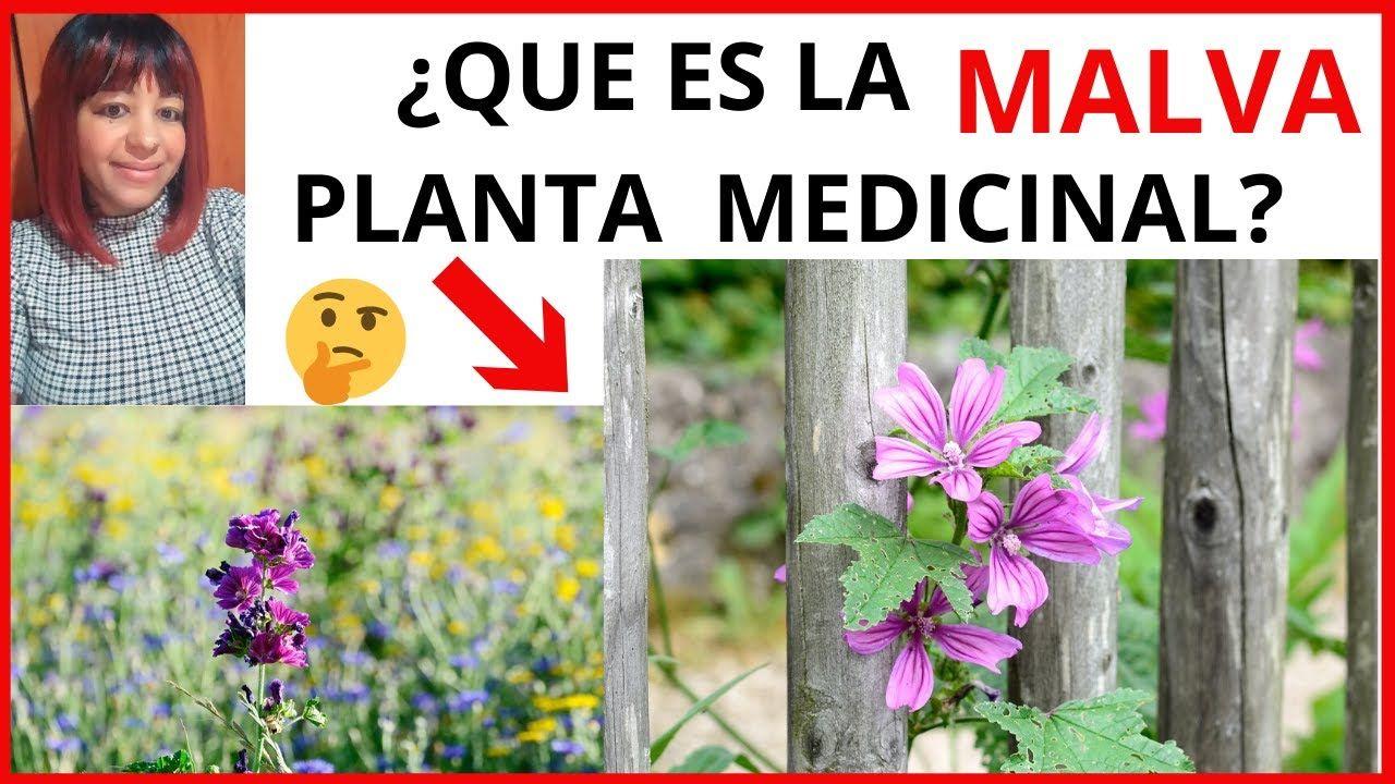 Que Es La Malva Planta Medicinal Plantasmedicinales Hierbasmedicinales Malva Curiosidades Malva Planta Plantas Medicinales Plantas