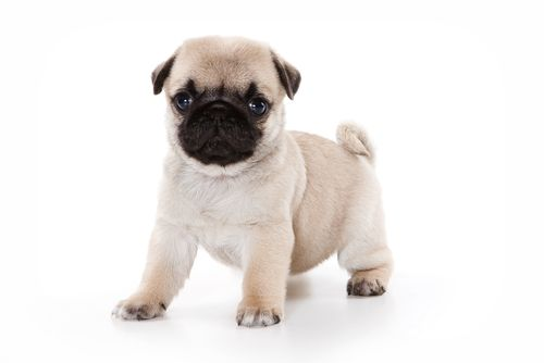 New Plans To Crackdown On Backstreet Puppy Breeders Puppies Near