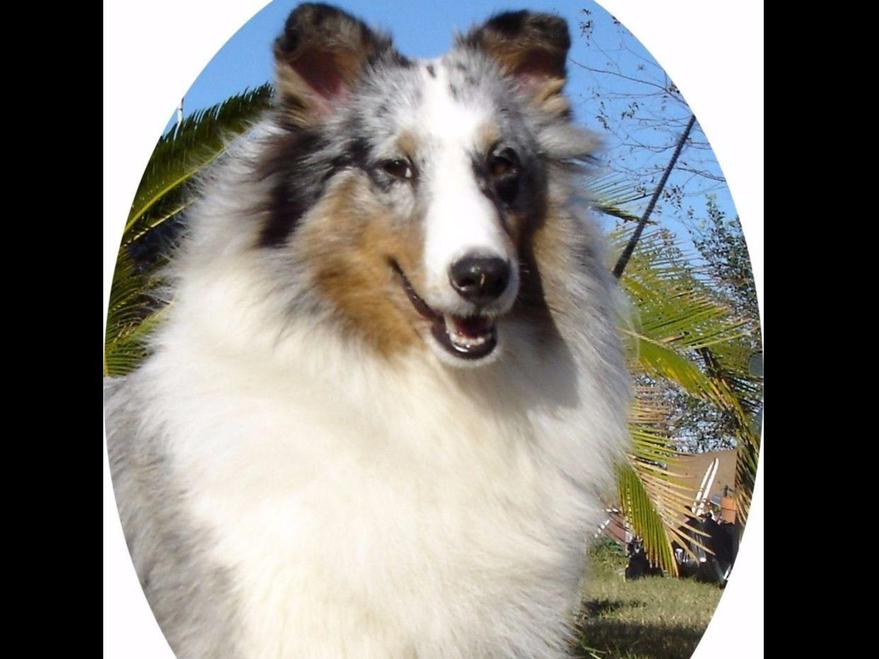 I Am A Sheltie Breeder I Have Been Breeding For A Few Years I Am Very Fond Of This Breed I Am Not Only A Breeder I Also Sheltie Sheltie