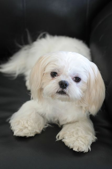 White Shih Tzu Andy Shih Tzu Dogs Beautiful Dogs
