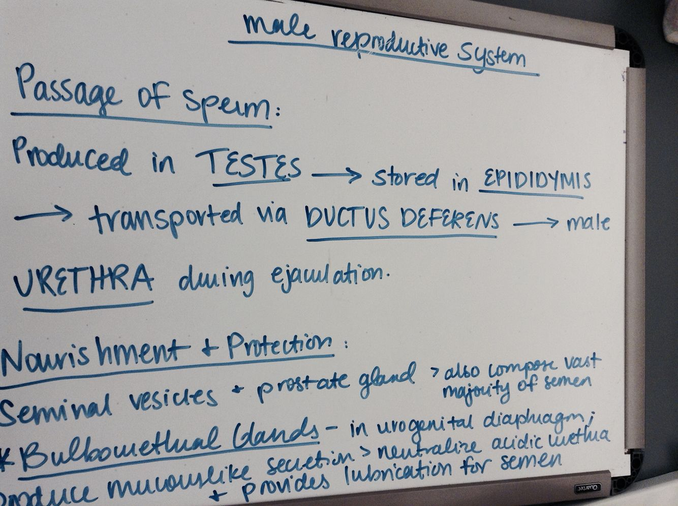 Notes On Male Reproductive System  Motivation  Pinterest -6990