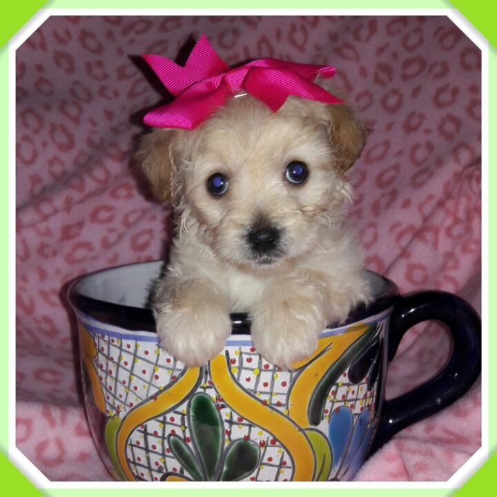 Maltipoo Dogs For Sale In Texas Ideas