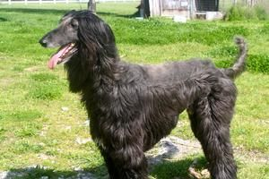 Barkley Is An Adoptable Afghan Hound Dog In Lebanon Tn Barkley