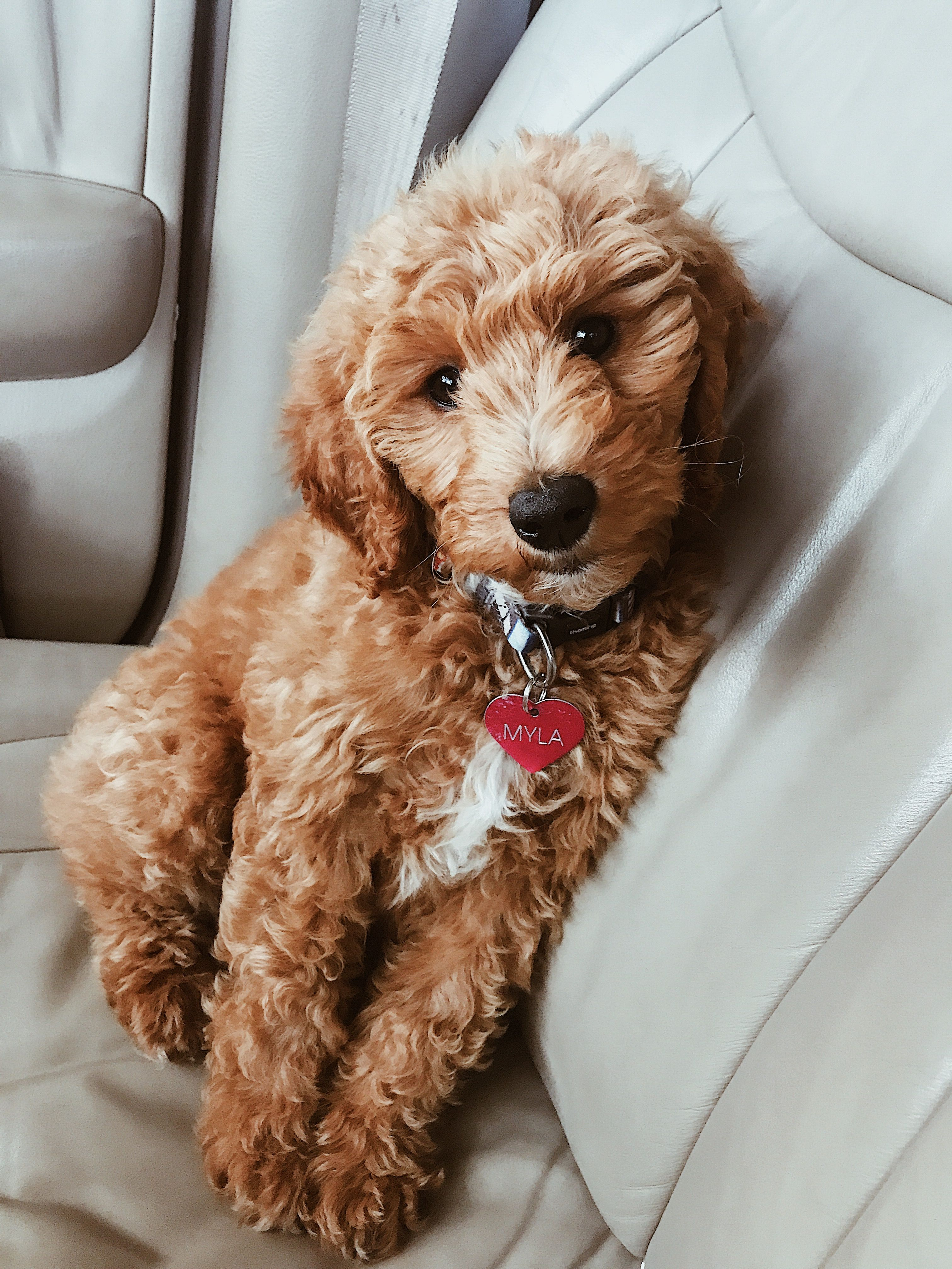 Minigoldendoodle Goldendoodle Puppy Puppytraining