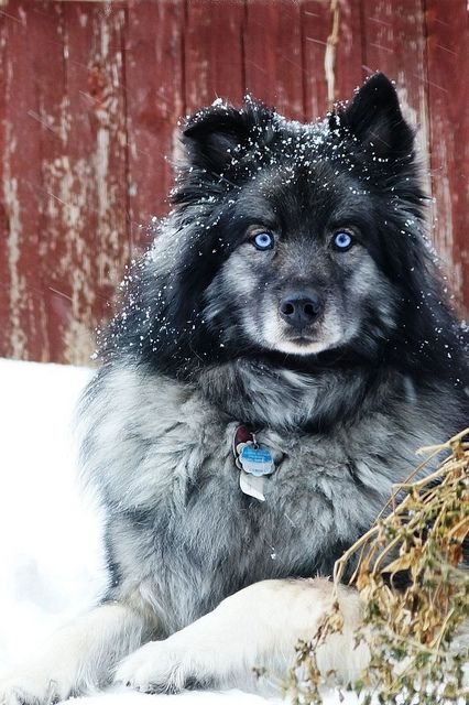 Keeshond - Blue in the snow storm | Flickr