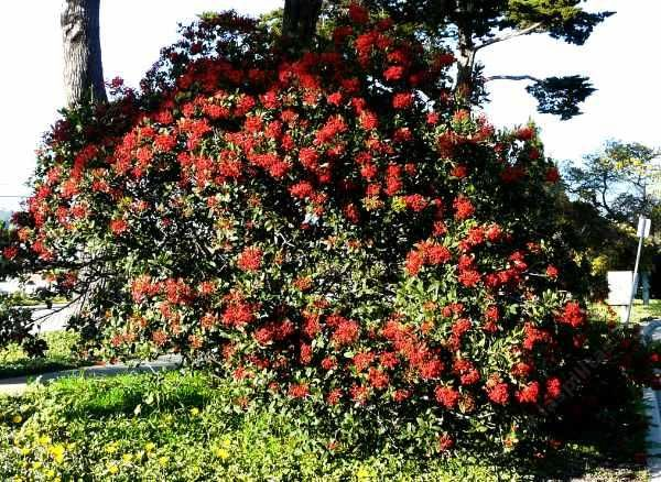 Toyon, also called Christmas berry because of the red berries around Christmas. A great hedge plant.
