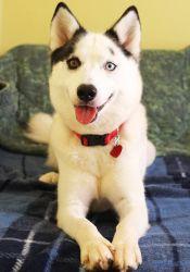 Adopt Lola On Siberian Husky Mix Dogs Cute Animals