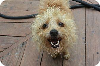 Denver Co Cairn Terrier Poodle Miniature Mix Meet Ernie A