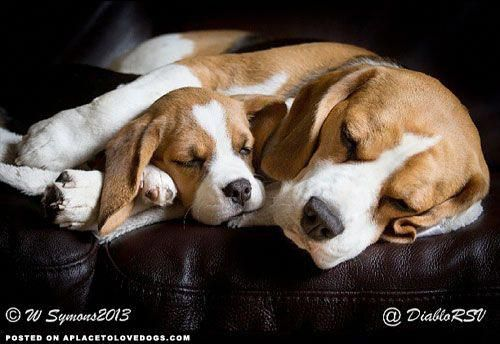 Obtain Wonderful Tips On Beagle Puppies Xx They Are Accessible