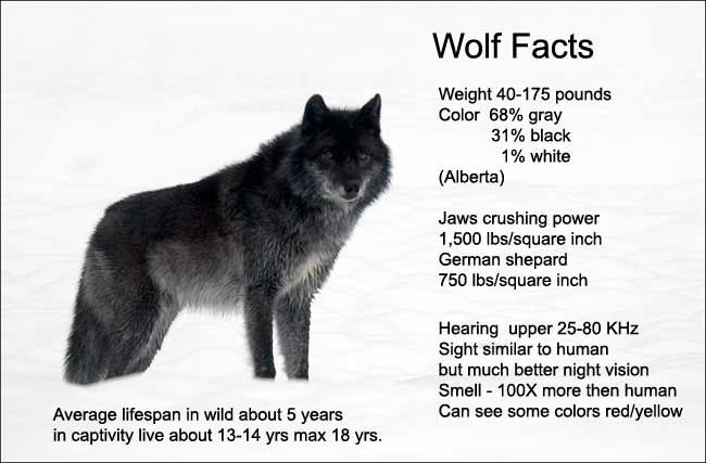 Size Difference Of Timber Wolves And Canadian Gray Wolf Alaskan