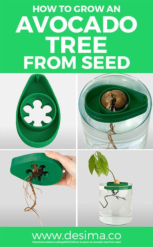 HOW TO GROW AN AVOCADO TREE FROM SEED   desima ...