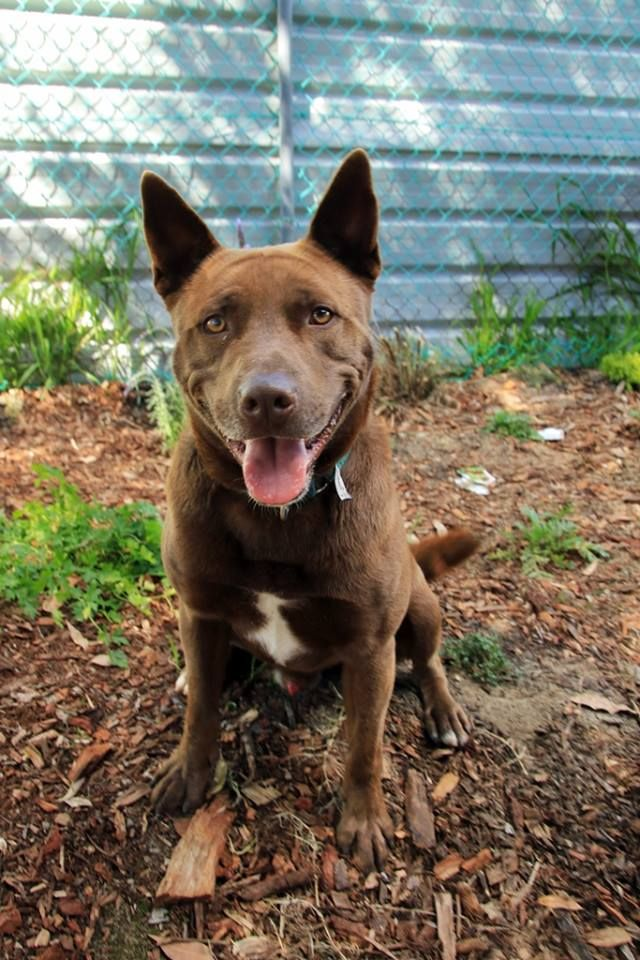 Mack 3 Year Old Male Kelpie Staffy Cross Adopted 7 10 2015 Returned 28 3 2016 Cute Creatures Animals Puppies