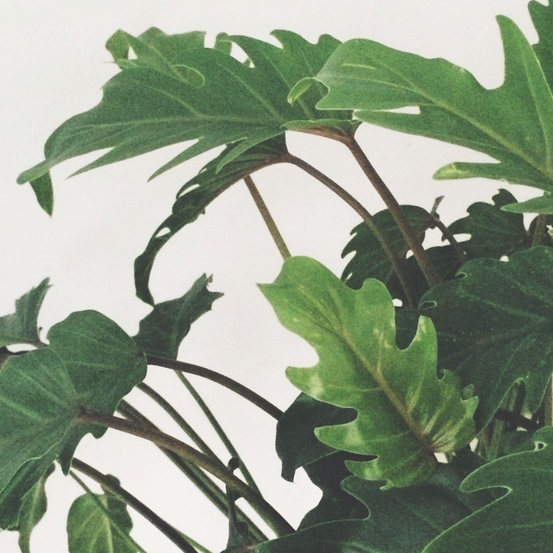 Green leaves #livingroom #inredning #leaves #plants