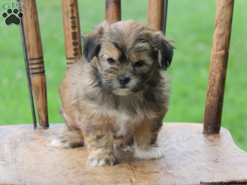 Shorkie Puppies For Sale In Pa Shorkie Puppies Greenfield Puppies Shorkie Puppies For Sale