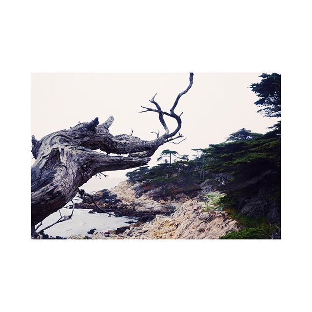 Cypress trees. CA . . . . . . . #pacificbeach #17miledrive #coast #roadtrip #california #goldenstate #travelgram #travelphotography #cypress #cliffs #cliffedge #landscapephotography #pacificbeachlocals #sandiegoconnection #sdlocals #sandiegolocals - posted by laulaubrown  https://www.instagram.com/laulaubrown. See more post on Pacific Beach at http://pacificbeachlocals.com