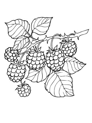Blackberry Branch Crafts Fruit Coloring Pages Coloring Pages E