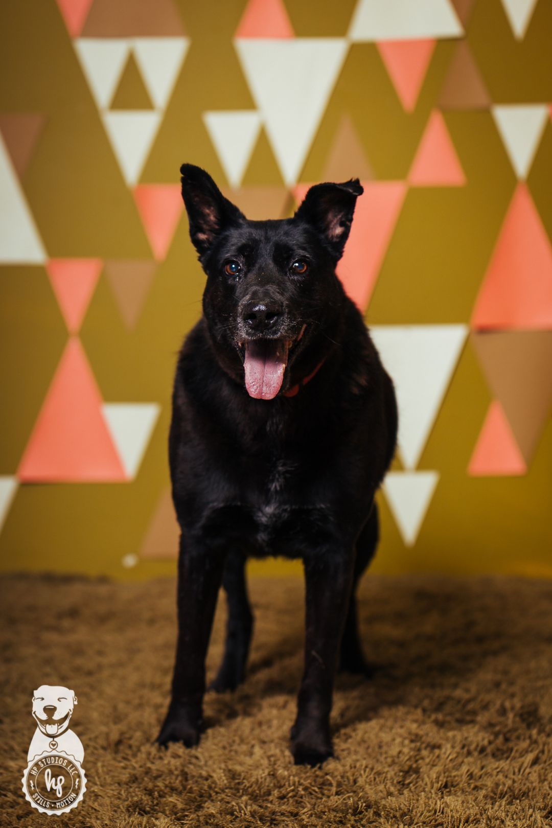 Adopt Oso on Black labrador retriever, Shepherd dog mix