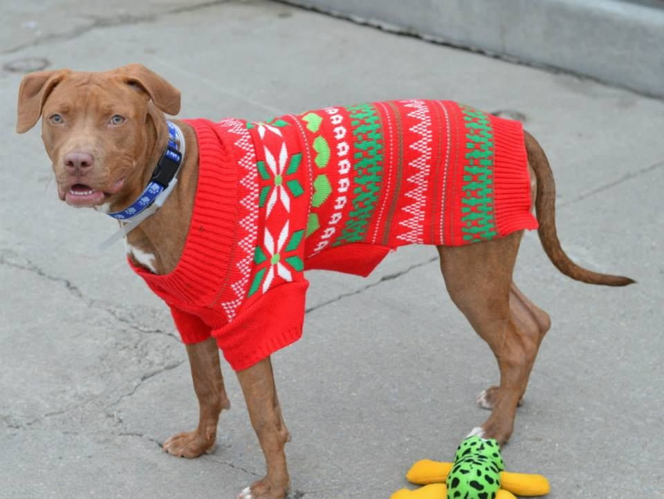SAFE 1/14/15 --- Brooklyn Center   GLENDALINE - A1023525  FEMALE, BR BRINDLE / WHITE, AM PIT BULL TER MIX, 10 mos STRAY - STRAY WAIT, NO HOLD Reason STRAY  Intake condition UNSPECIFIE Intake Date 12/18/2014, From NY 11236, DueOut Date 12/21/2014 https://www.facebook.com/photo.php?fbid=925934924086054
