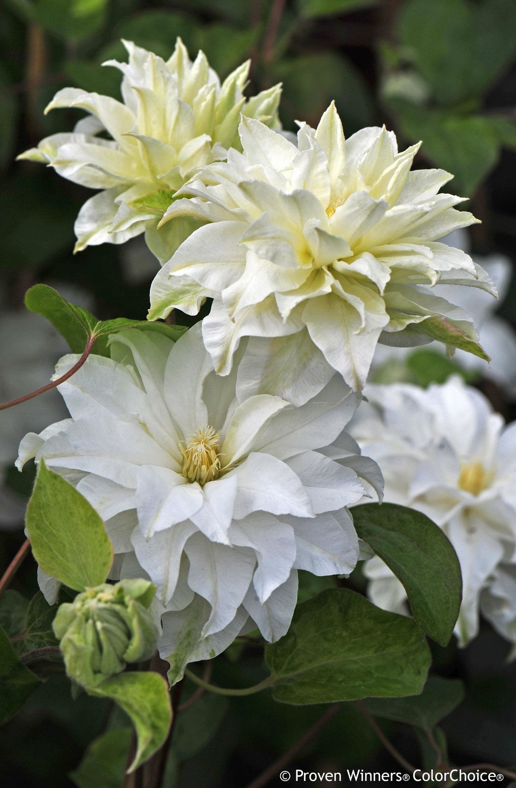 Madame Maria Clematis Sp Pinterest Clematis Flowers And Gardens