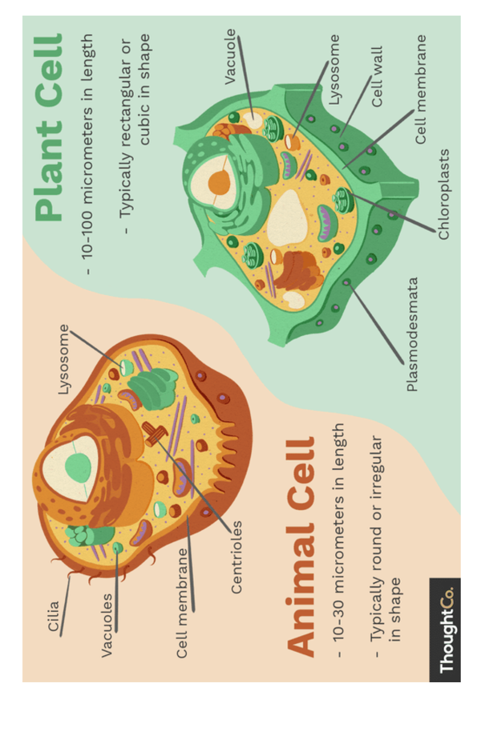Plant VS Animal Cell Diagram in 2020 | Plant and animal ...