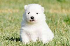 Japanese Spitz Puppies Pure Breed Japanese Spitz Puppies For