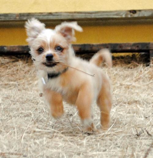 Shichi Dog Shih Tzu Chihuahua Info Temperament Training